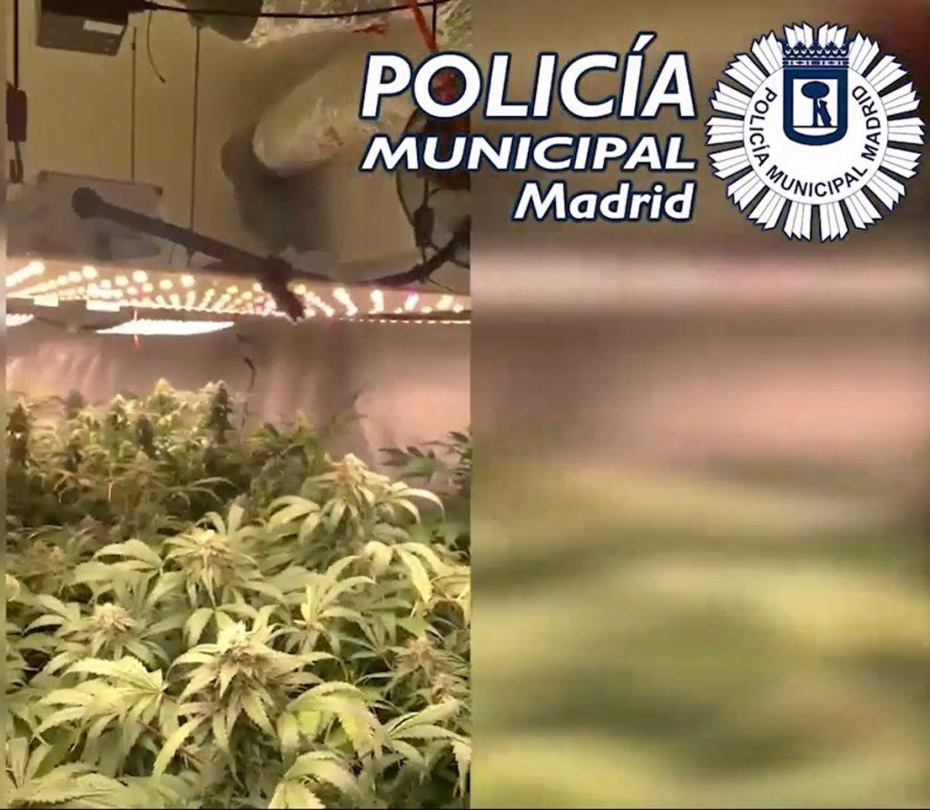 Dos detenidos y 97 plantas de marihuana requisadas en el sótano de una inmobiliaria en Chamberí